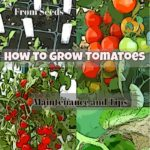 DIY Growing Plants: How to Grow Tomatoes in your Own Garden