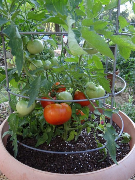 Growing-Tomatoes-in-pots