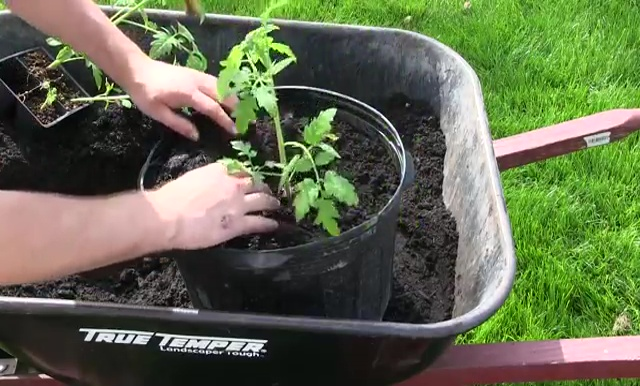 How to Grow Tomatoes in Container 11