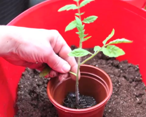 How to grow tomatoes step by step (12)