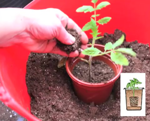 How to grow tomatoes step by step (13)