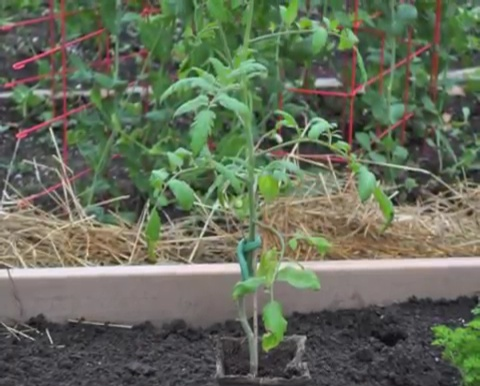 How to grow tomatoes step by step (15)