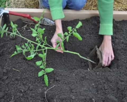 How to grow tomatoes step by step (17)