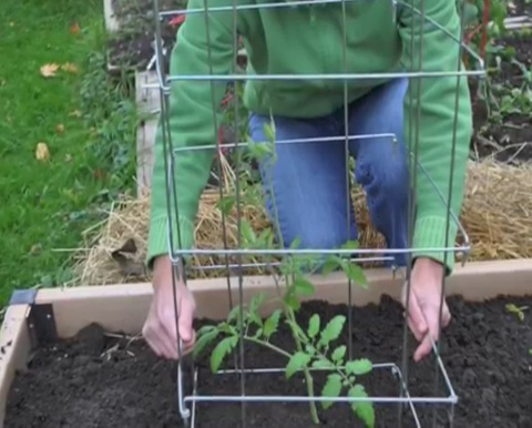 How to grow tomatoes step by step (19)