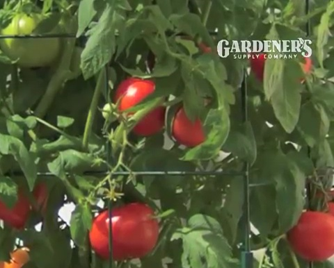 How to grow tomatoes step by step (20)