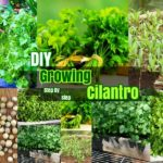 DIY Herb Garden Ideas : #5 Growing Cilantro Step by Step Care Ideas