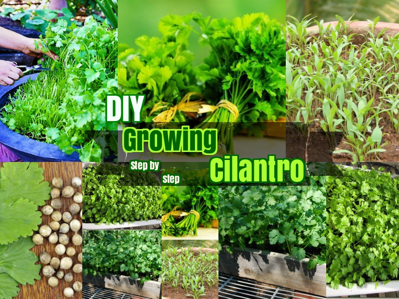 DIY Growing Cilantro Corriander Leaves step by step