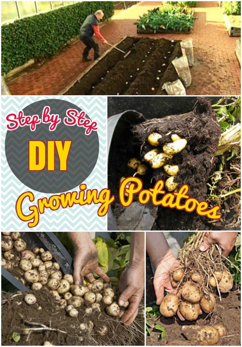 DIY growing  potatoes