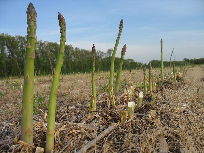 Growing Asparagus 2