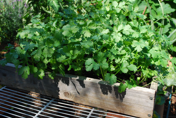 Growing Cilantro herb garden ideas (1)