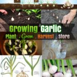 DIY Growing Garlic : How to Grow Garlic plant