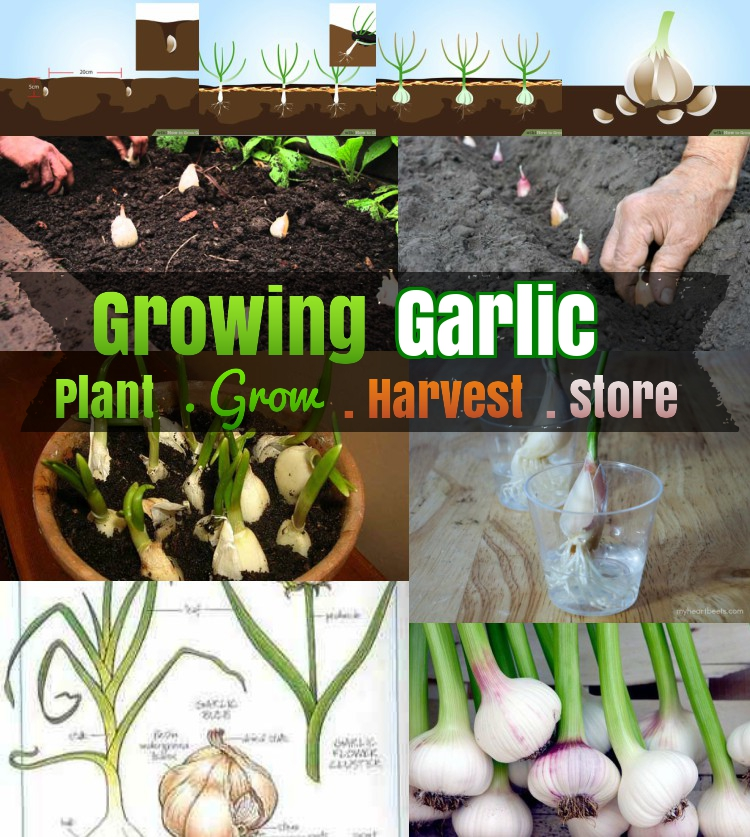diy growing garlic 5 how to grow garlic step by step. Black Bedroom Furniture Sets. Home Design Ideas