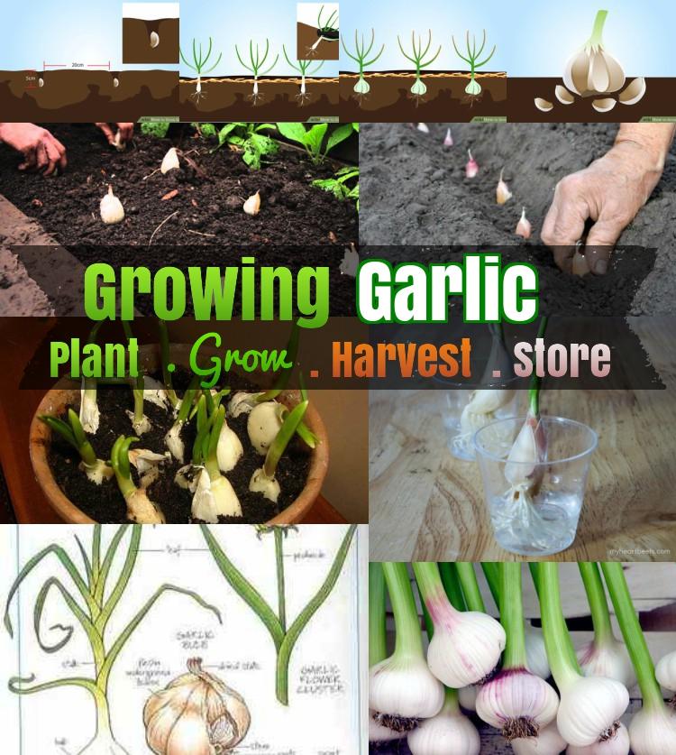 DIY Growing Garlic: #5 How To Grow Garlic Step By Step
