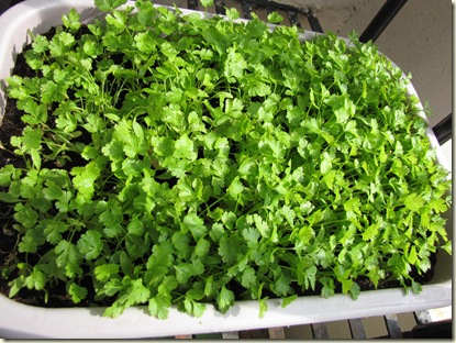 Growing cilantro in your garden