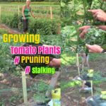 DIY Growing plants: Growing tomatoes – Pruning and Staking Tomato plants