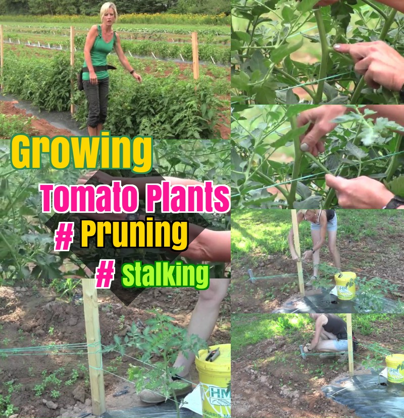 Growing tomato plants pruning and stalking