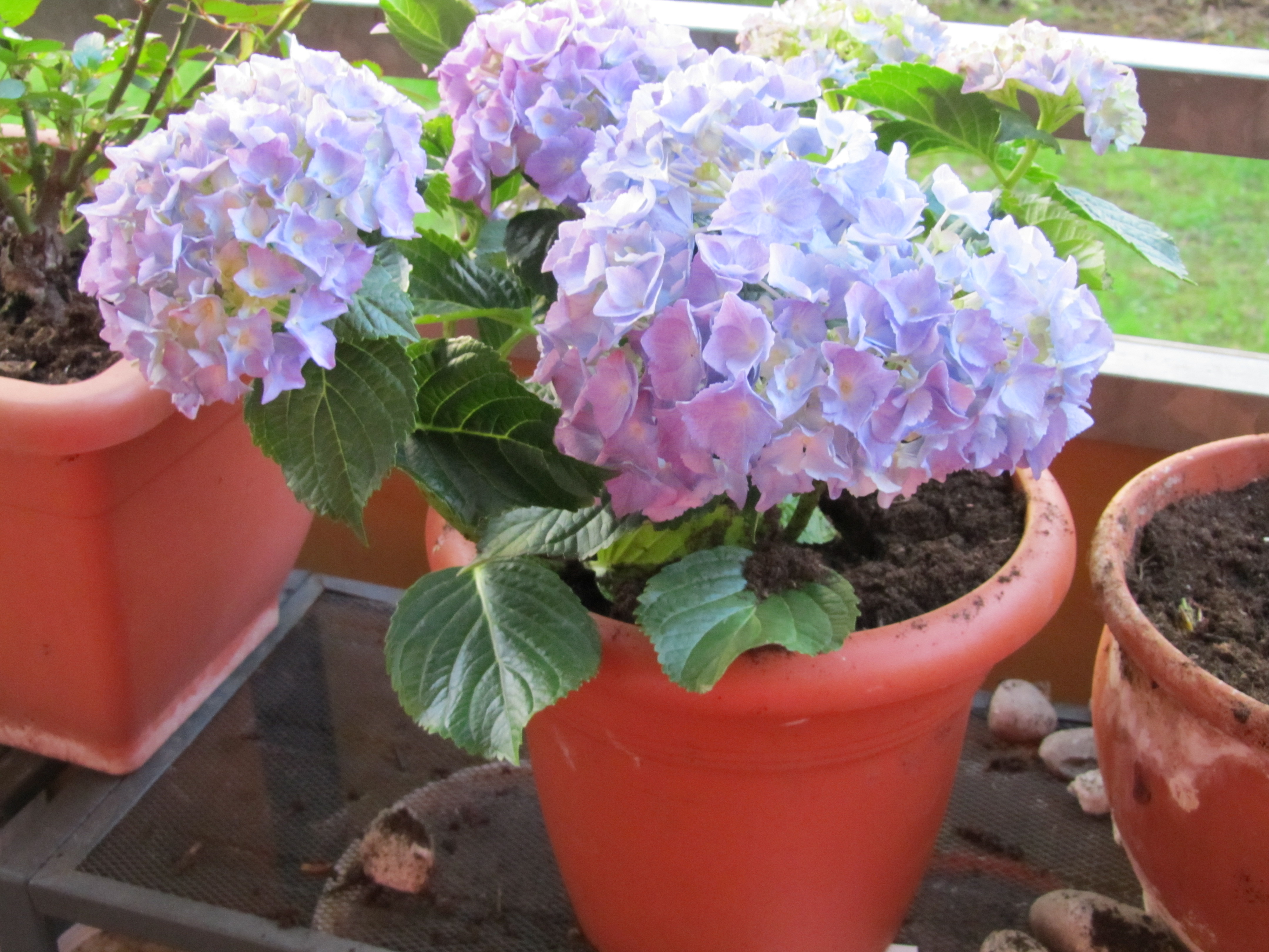 Hydrangea flower coloring pages - Growing Hydrangea In Pot