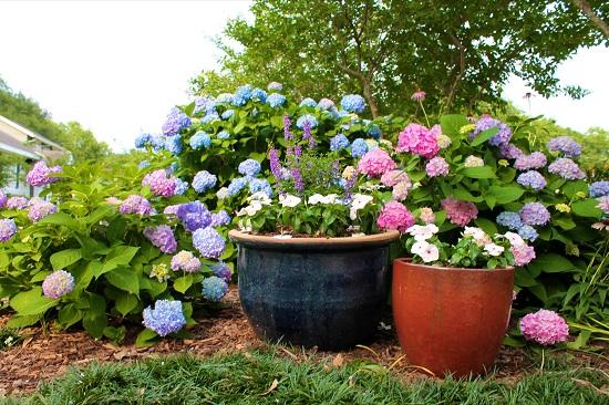 diy growing hydrangeas 4 how to grow hydrangea tutorial and care tips diy craft ideas