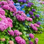 DIY Growing Hydrangeas #4 : How to grow Hydrangea Tutorial and Care Tips