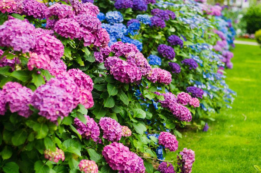 Roses In Garden: DIY Growing Hydrangeas #4 : How To Grow Hydrangea Tutorial