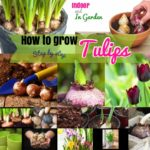 How to Grow Tulips: Growing Tulips Indoors in Water and from Seeds