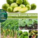 Growing Brussels Sprouts: How to grow Brussel Sprouts for Fruitful Harvest
