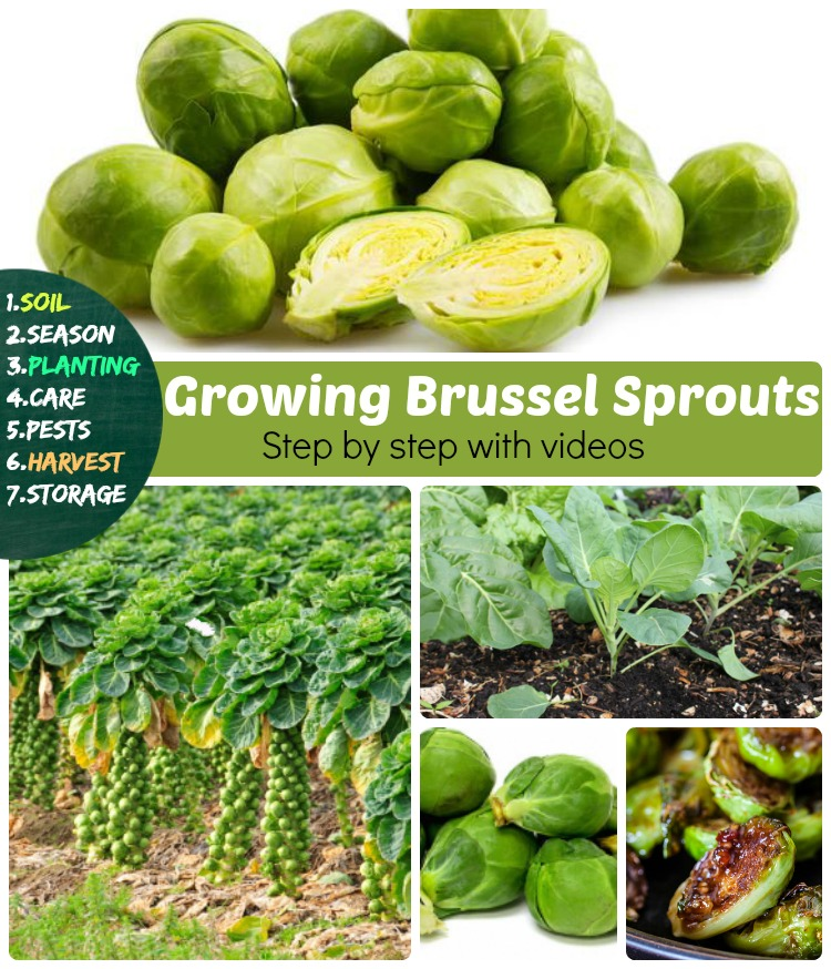 Growing Brussel sprouts how to grow brussels sprouts in containers too