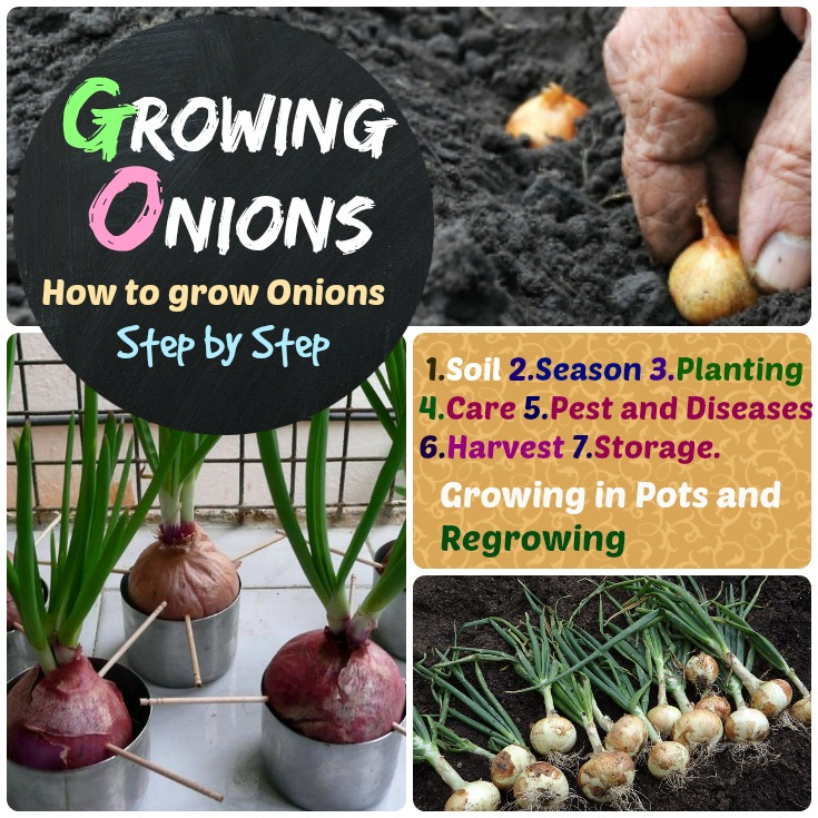 Growing Onions how to grow onions step by step