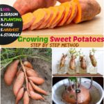 Growing Sweet Potatoes: #6 Stages on How to Grow Potato