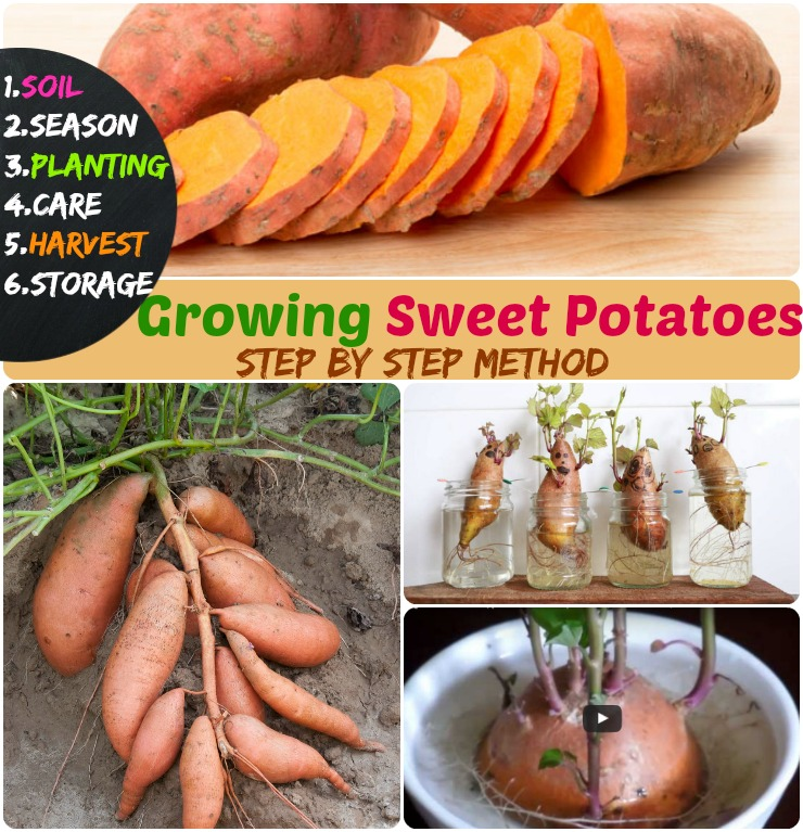 Growing Sweet Potatoes   6 Steps How To Grow Sweet Potatoes