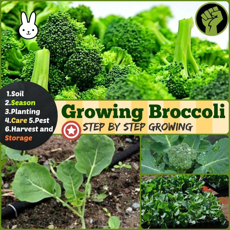 Growing broccoli how to grow broccoli step by step