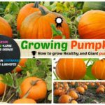 Growing Pumpkin : How to grow pumpkin, Care, Harvest and Storage