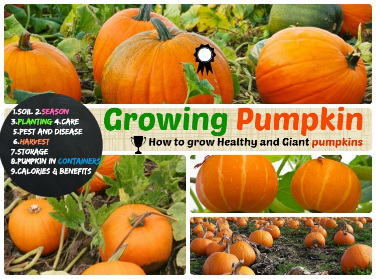 Growing Pumpkin How To Grow Care Harvest And Storage