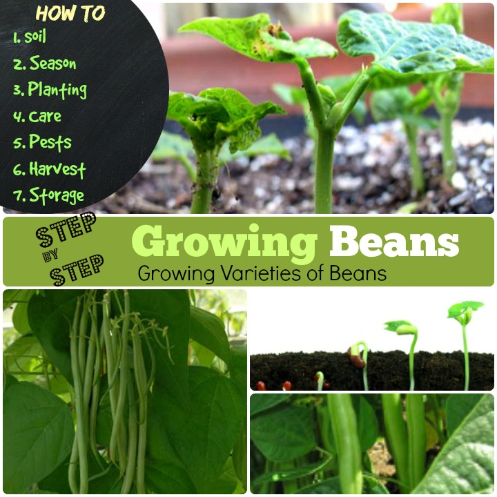 Growing Beans How to grow beans step by step
