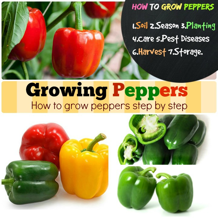 Growing Peppers How to grow peppers step by step