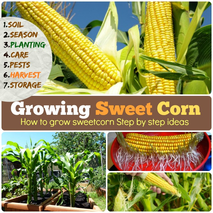 Growing Sweet corn How to grow sweet corn