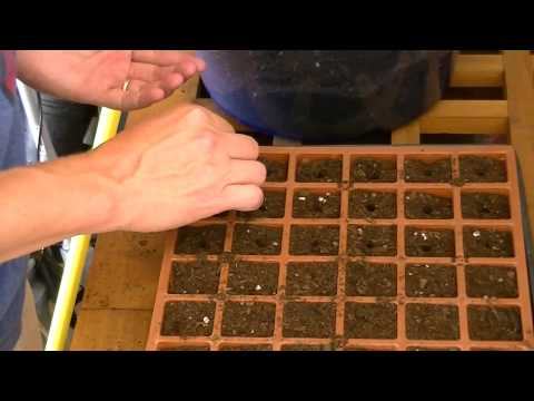 Growing Cabbage from seeds