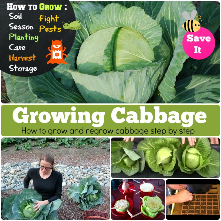 Growing Cabbage how to grow cabbage step by step