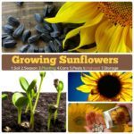 Growing Sunflower: How to grow Sunflower #7 Steps