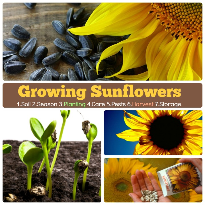 growing sunflowers how to grow sunflower steps