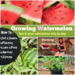 Growing Watermelon: How to grow this Juicy Fruit #7 Steps