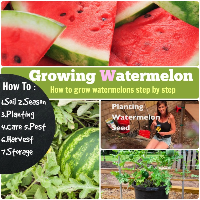 Growing Watermelon How To Grow Watermelon 7 Steps Stages