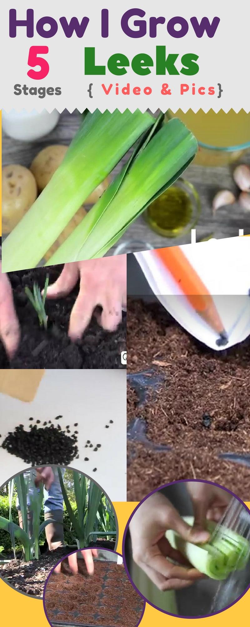 How I Got Big Aromatic Leeks: How to Grow Leeks { Step by ... Leek Companion Plants