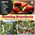 Growing Strawberry : #7 How to Grow Strawberries Step by Step