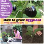 How to Grow Eggplant: Growing Eggplants Step by Step Methods