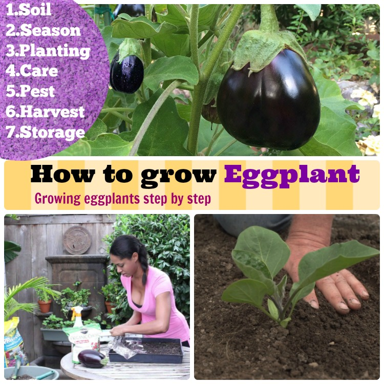 growing eggplants how to grow eggplants step by step