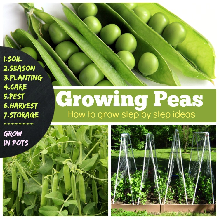 growing peas, how to grow peas step by step method