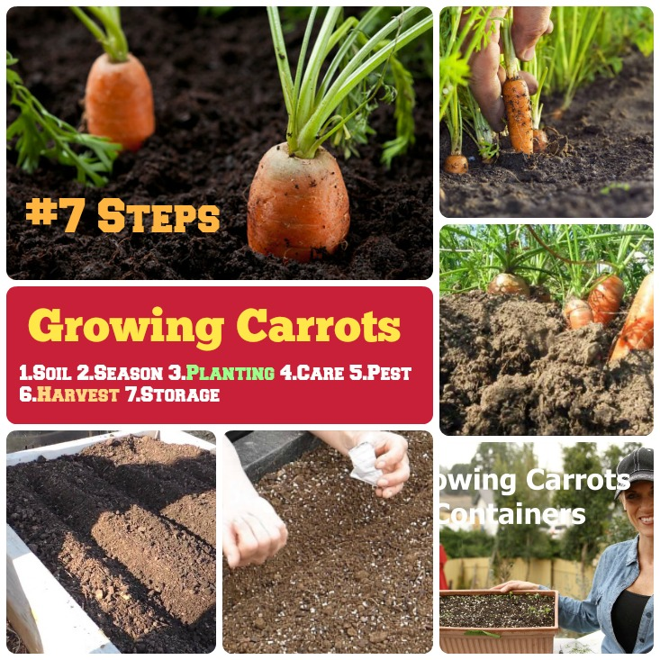 growing carrots how to grow step by step