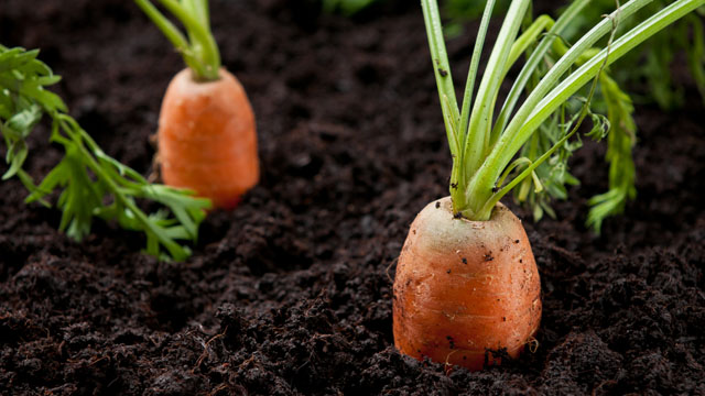 Growing Carrots how to grow carrots step by step