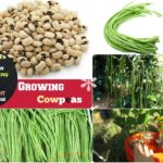 How to Grow Cowpeas: #7 Steps Growing Cowpeas